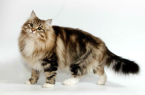 Пятнистая кошка сибирская