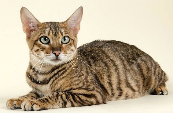 Пятнистая кошка тойгер