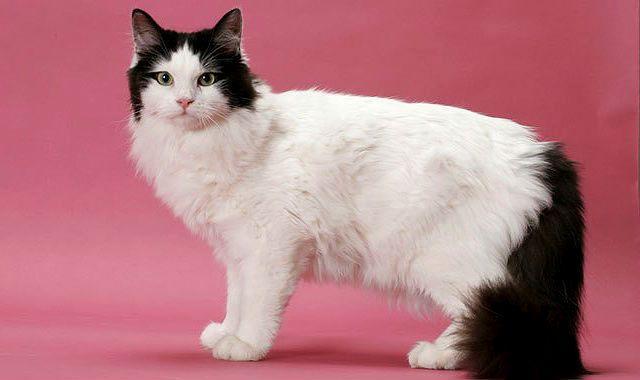 Рагамаффин - большая кошка