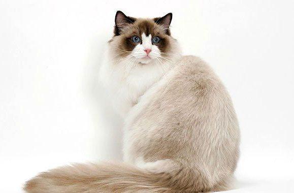 Рэгдолл - большая кошка