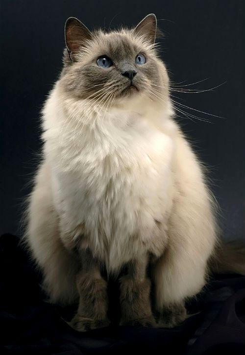 Крупная кошка Рэгдолл