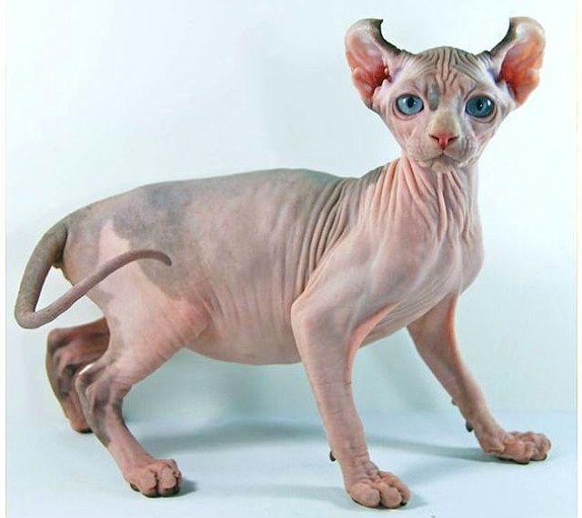 Редкая кошка американский эльф