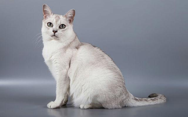 Редкая кошка бурмилла