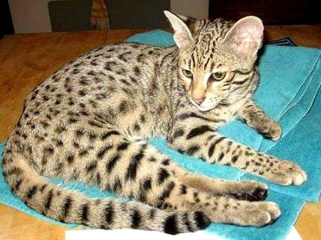Редкая кошка сафари
