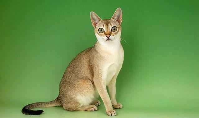 Редкая сингапурская кошка