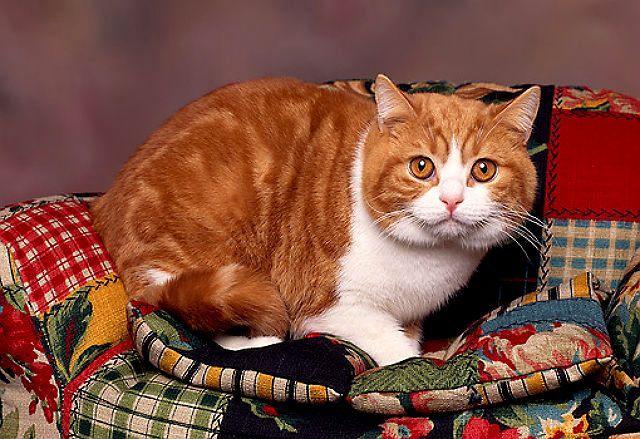 Рыжие британские кошки