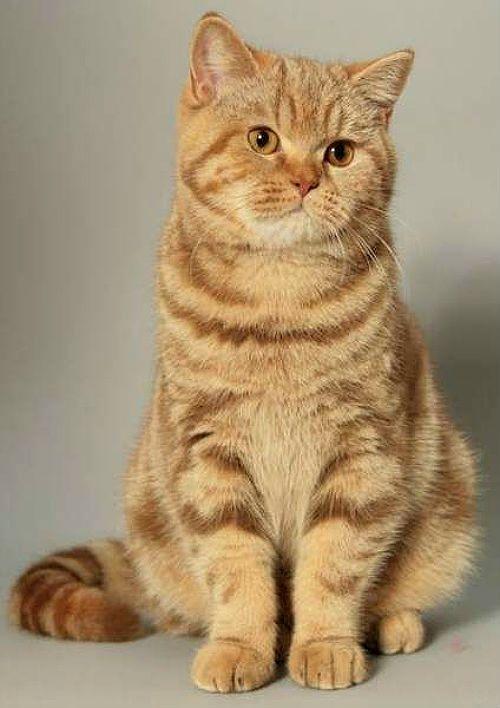 Кошка рыжая британская