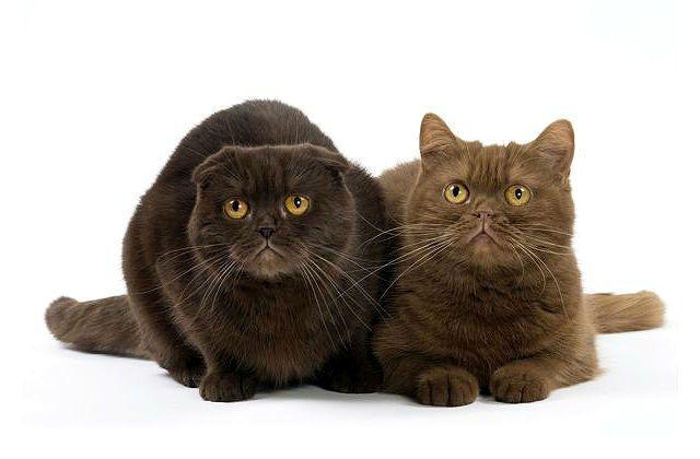Шоколадные британские кошки