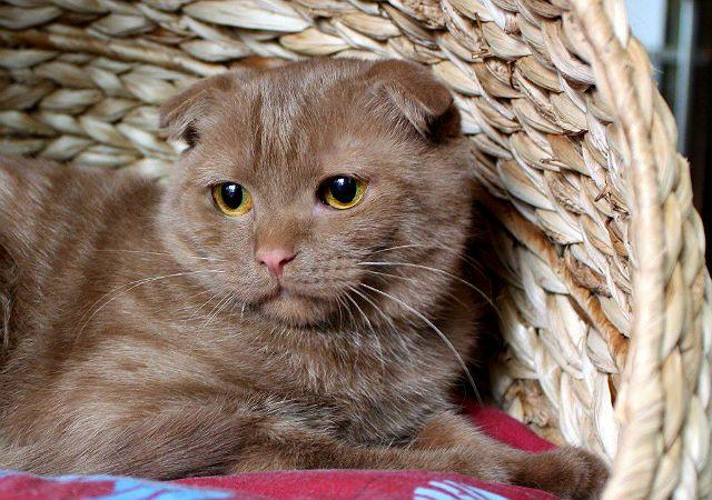 Котик шоколадный британец