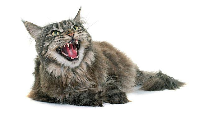 Самые злые породы кошек