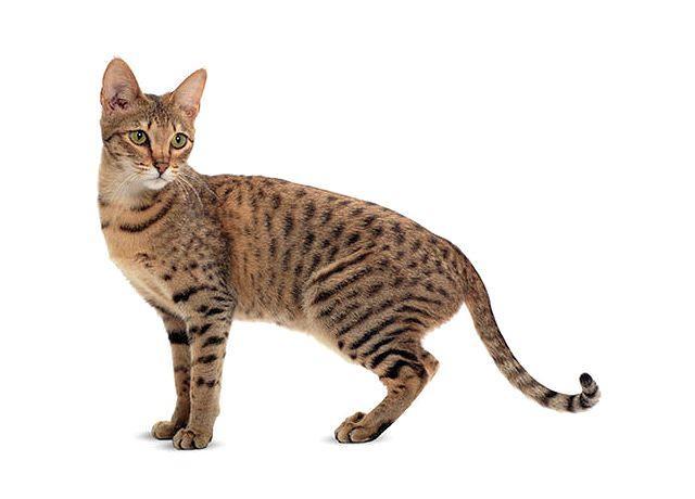 Кошка с круглыми ушами саванна