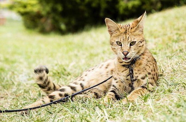 Саванна пятнистая кошка