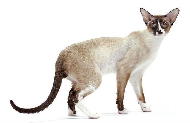 Сейшельская кошка, похожая на сиамскую