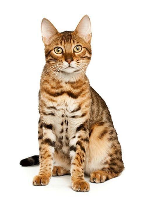 Серенгети пятнистая кошка