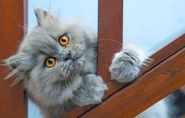 Как продлить жизнь персидской кошке