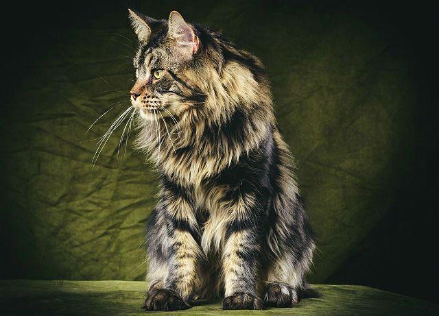 Стандарт кошки мейн-кун