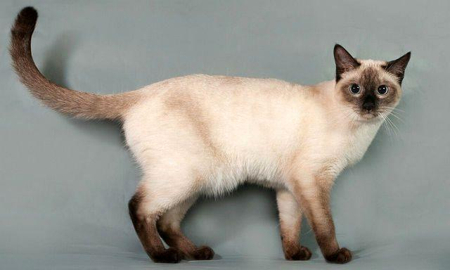 Тайская - красивая кошка