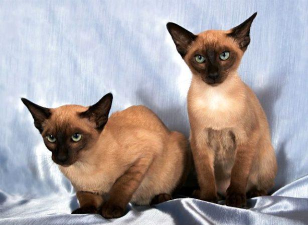 Тонкинская кошка, похожая на сиамскую