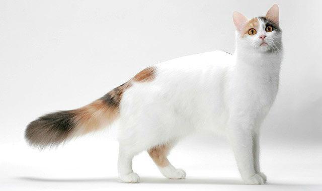 Турецкий ван - большая кошка