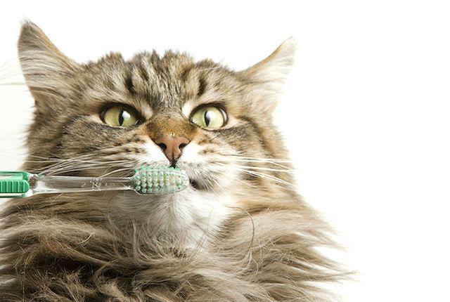 Запах изо рта у кошки - чистка зубов