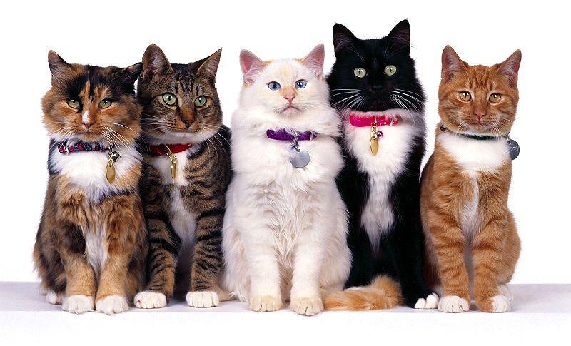 Все об окрасах кошек