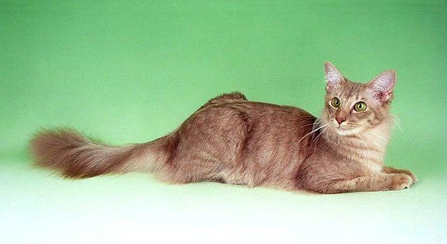 Гипоалергенная кошка - яванез