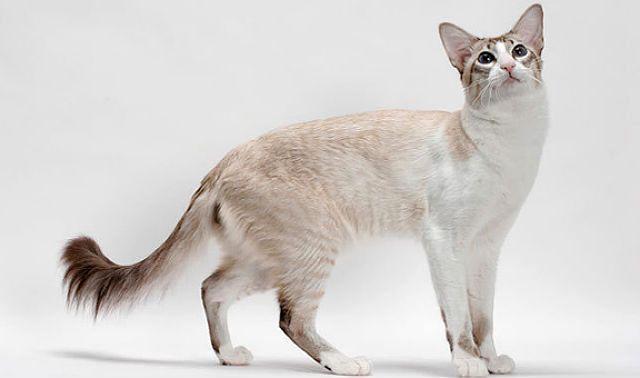 Яванская кошка, похожая на сиамскую