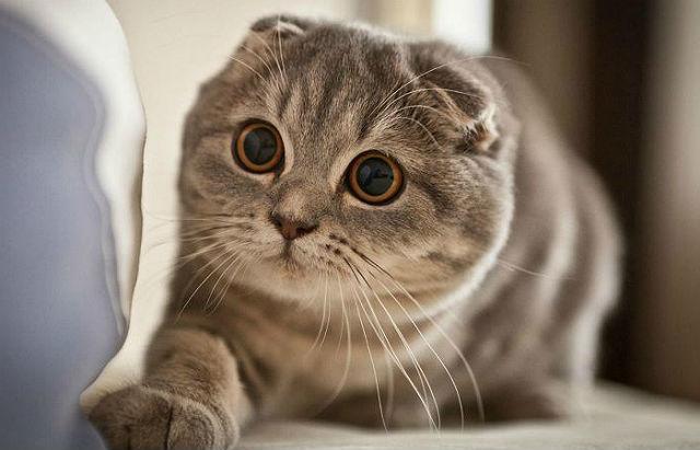 Болезни глаз шотландских вислоухих кошек