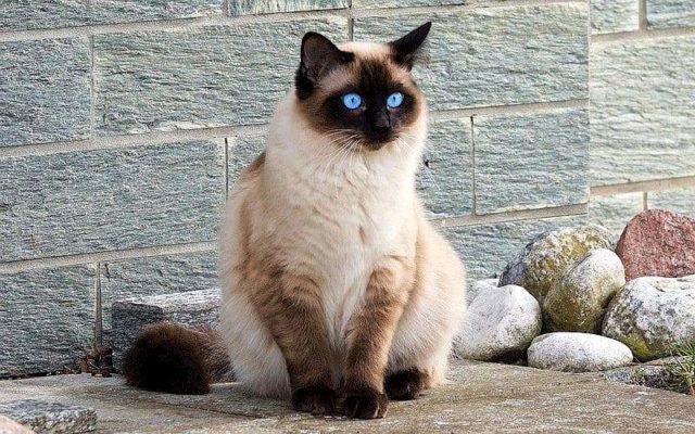 Кошки, похожие на сиамскую