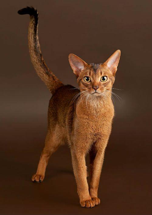 Абиссинская кошка табби