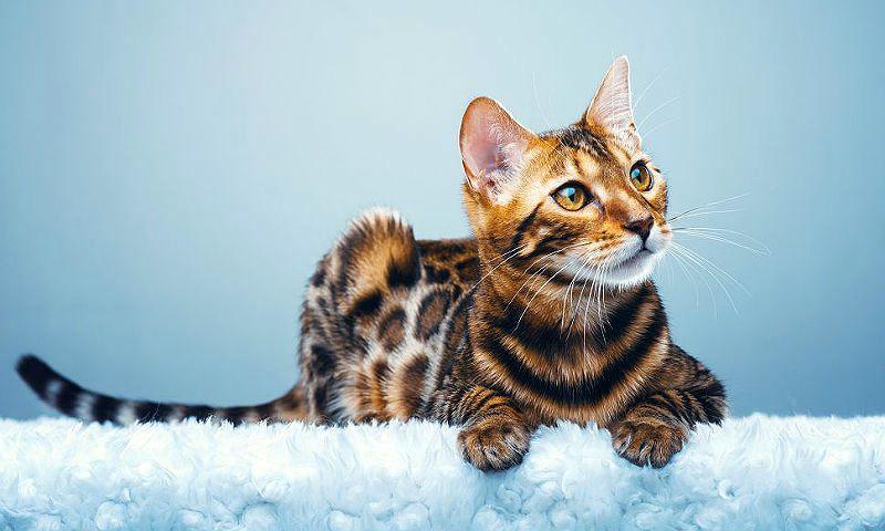 Аллергия на бенгальскую кошку - главное фото