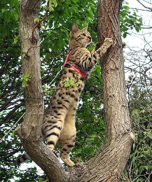 Физические нагрузки для бенгальской кошки