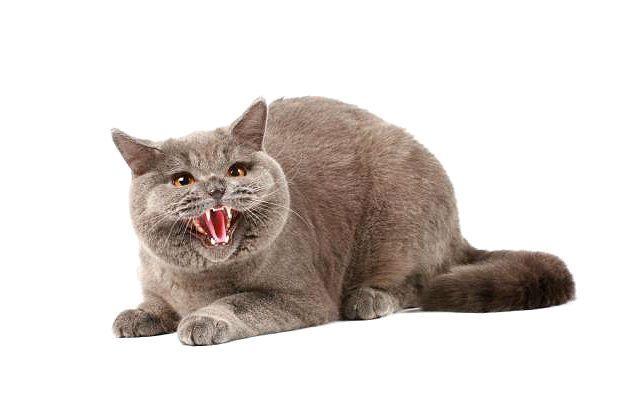 Бешенство у кошек - буйная форма