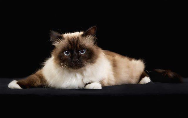 Бирманская кошка - главное фото