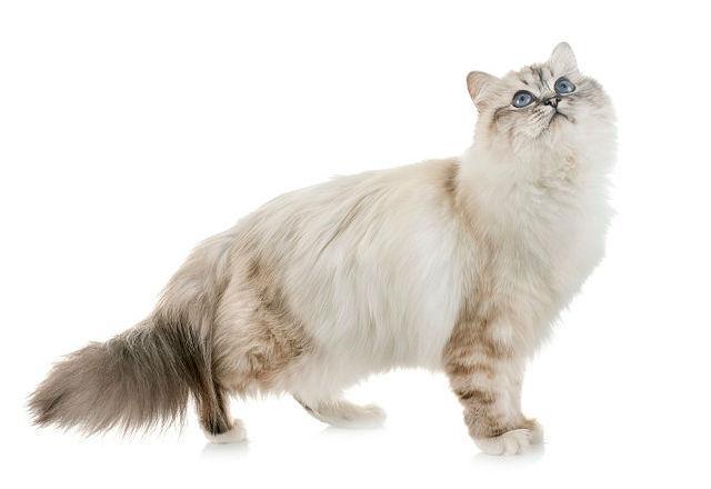 Бирманская кошка - вид сбоку