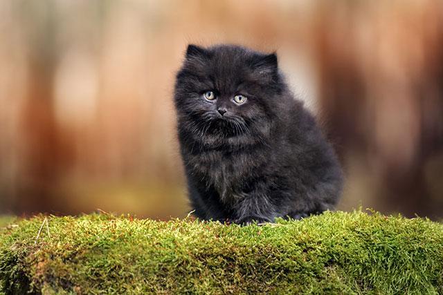 Британский длинношерстный котенок