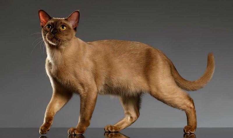 Бурманская кошка - главное фото