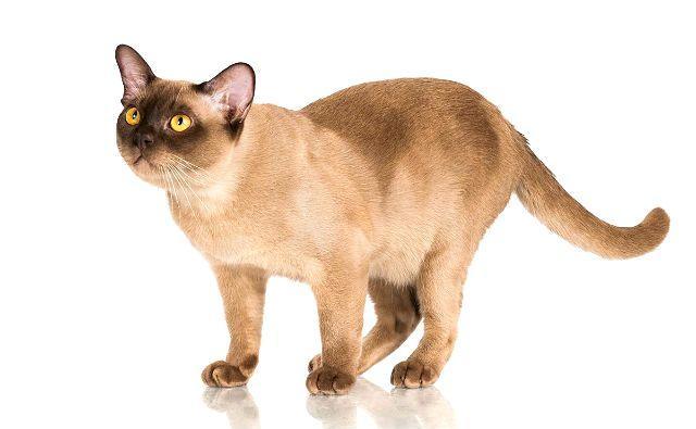 Бурманская кошка - внешний вид