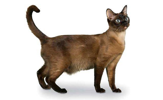 Бурманская кошка в полный рост