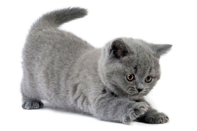 Чем британские котята отличаются от обычных