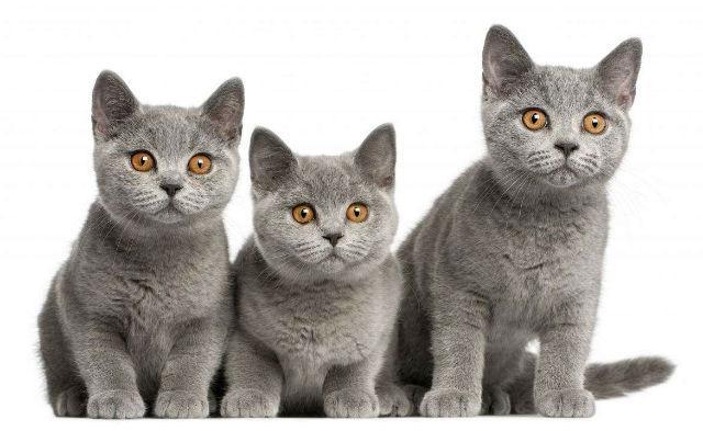 Телосложение британских котят