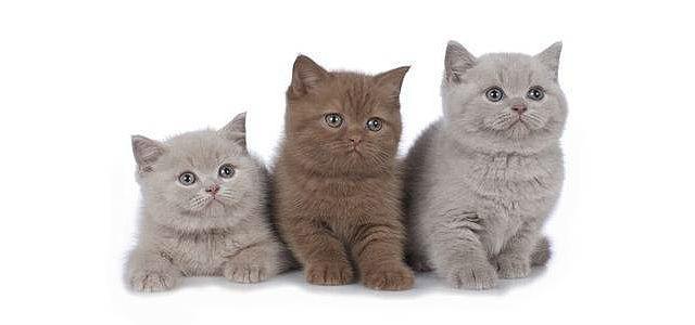 Шерсть и окрас британских котят