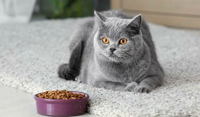 Чем кормить британских кошек - сухой корм