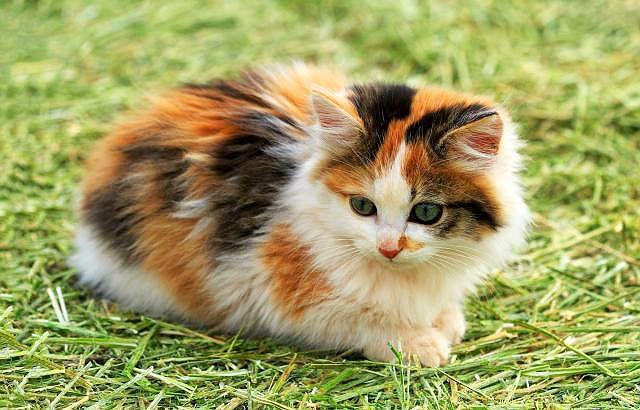 Кошка окраса табби