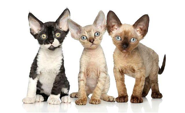 Девон-рекс - котята