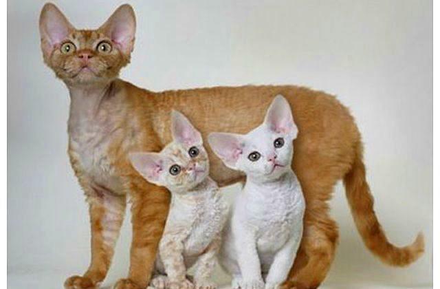 Девон-рекс с котятами