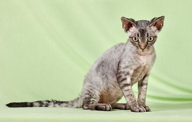 Девон-рекс - порода кошки