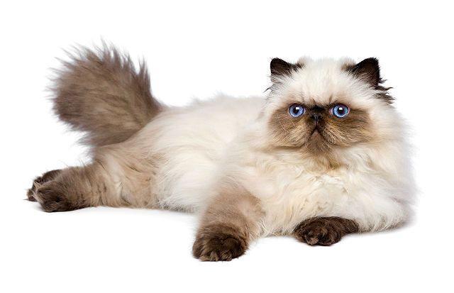 Гималайская кошка - главное фото