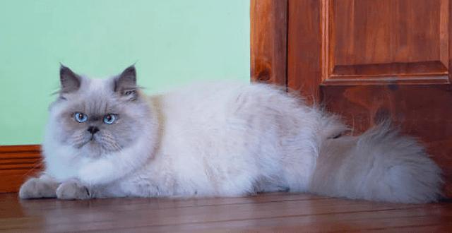 Гималайская кошка дома