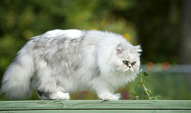 Гималайская кошка на прогулке